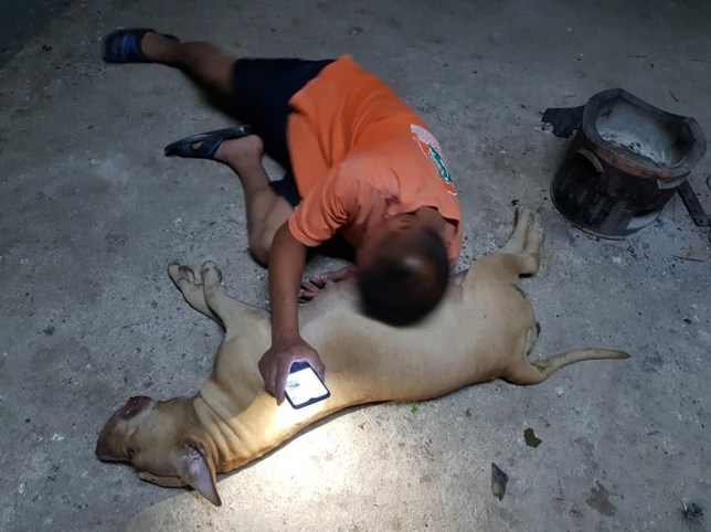 NEWS COPY - WITH VIDEO AND PICTURES - SEE NEWS WIRE AND VIDEO DESK FOR WORDS ??????A heroic pet dog died fighting off a cobra that tried to slither into her family's house. Two-year-old Nong Horm was found dead alongside the 4ft long reptile in the front yard in Pathum Thani, central Thailand, on Tuesday (Feb 18) night. Tragically, the dog was in the final stages of pregnancy and was carrying around 10 baby puppies in her stomach. Heartbreaking footage shows owner Buncherd Praprom, 35, lying next to the dying pit bull, which had suffered several bites around her mouth. The monocled cobra, one of the deadliest snakes in the world, was in the last stages of life having been wounded by the protective dog. Its powerful venom would have killed the dog within a few minutes. Buncherd's older Suriyon Chanthakhet, 51, said the family pet lived with them all in the property.