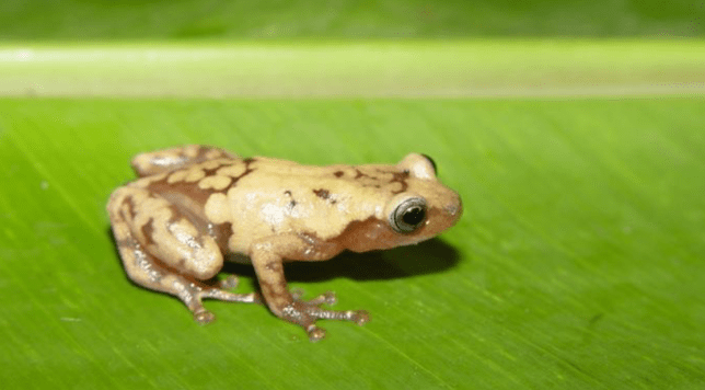 The common giant tree frog from Madagascar is one of many species that's under threat from climate change (Image: John J. Wiens)