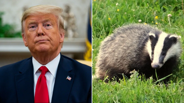 Photo of Donald Trump next to file photo of a badger