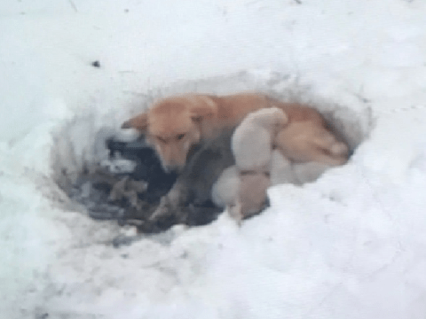 Caring stray dog stayed with her puppies after giving birth in snowdrift