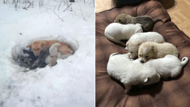 Photo of Snowbelle and puppies in drift next to photo of pups after they'd been rescued