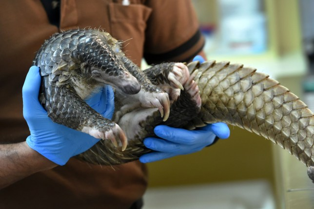 Similar strains of coronavirus have been found in smuggled pangolins (Getty Images)