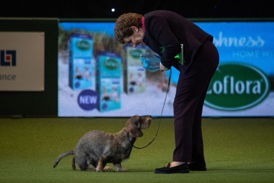 Maisie the Wire Haired Dachshund at Crufts