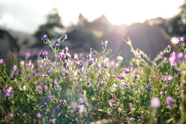 Field of purple flowers with tents in background