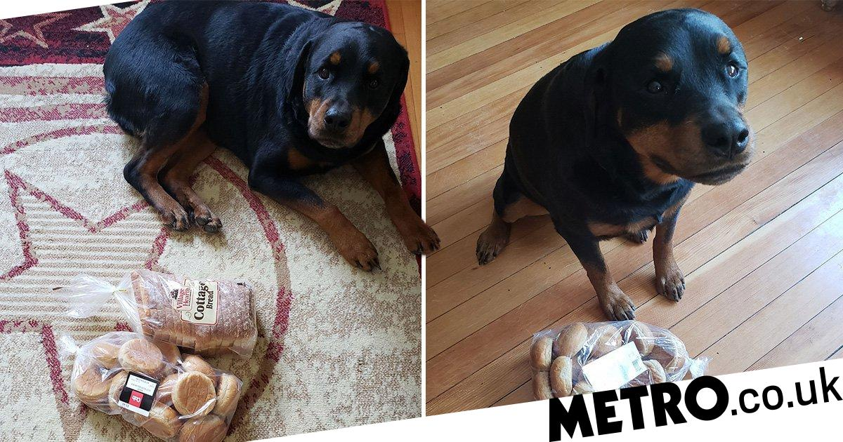 Dog obsessed with carbs looks after her humans by protecting bread and cookies at home