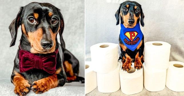 Dog posing on loo roll