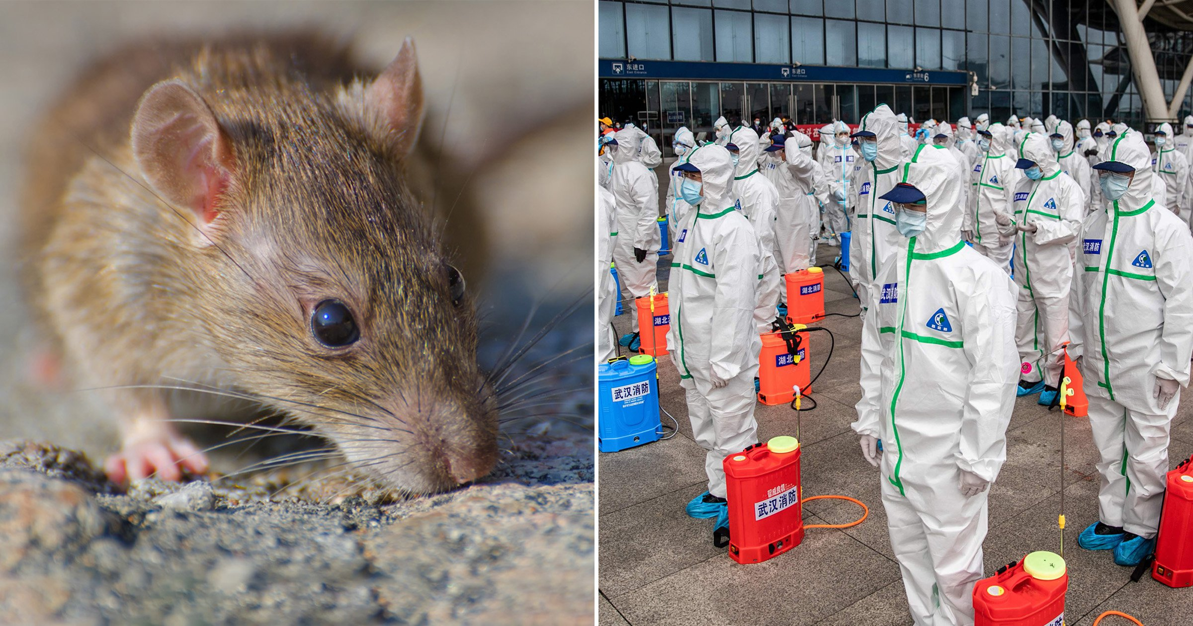 Man dies from rat-borne hantavirus with symptoms like coronavirus ...