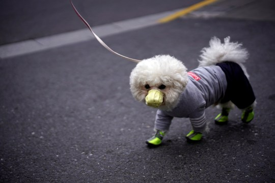 A dog wearing face mask is seen on a street as the country is hit by an outbreak of the novel coronavirus, in Shanghai, China