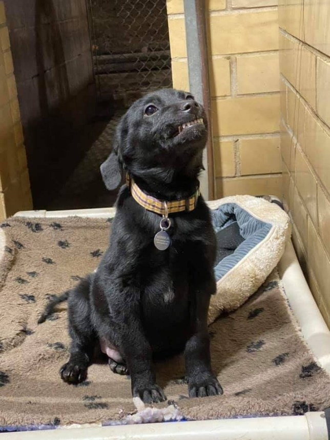 Adorable Black Labrador Tries To Get Adopted By Smiling At Visitors To Animal Shelter Metro News