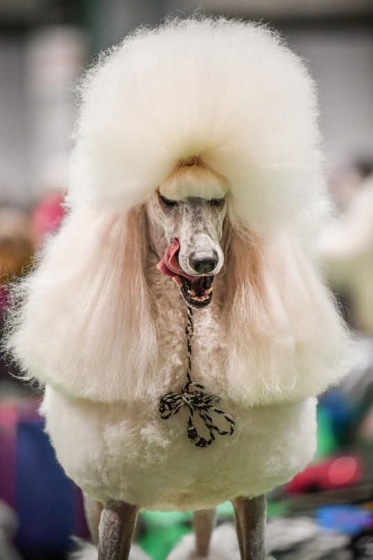 A poodle preparing ahead of being shown at day one of Crufts 2020