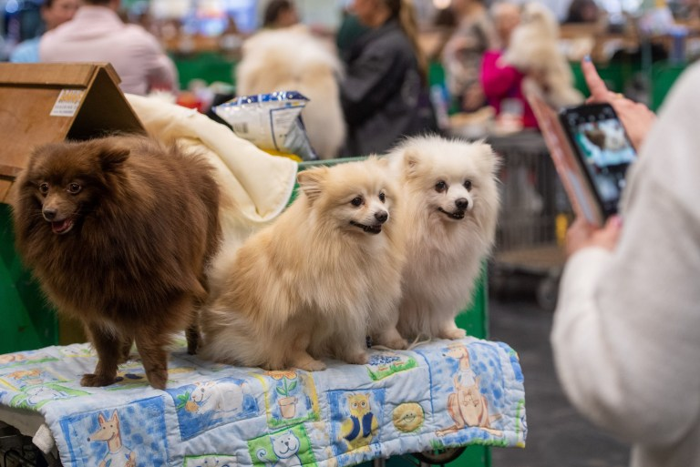 German Spitzs at the Birmingham National Exhibition Centre (NEC) for the first day of the Crufts Dog Show. PA Photo. Picture date: Thursday March 5, 2020. See PA story ANIMALS Crufts. Photo credit should read: Joe Giddens/PA Wire