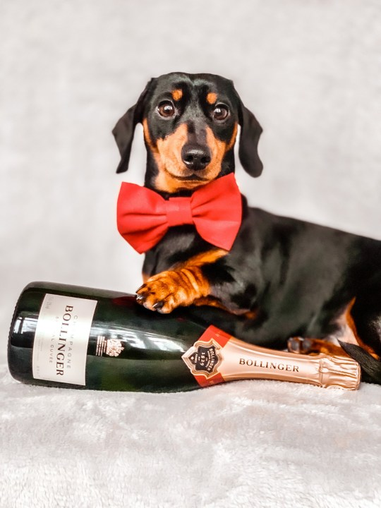 Miniature dachshund Sidney with a bottle of champagne