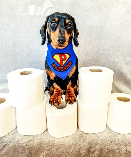 Miniature dachshund Sidney with loo roll