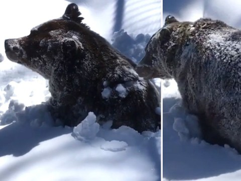Boo the grizzly bear pokes his head through snow as he emerges from hibernation