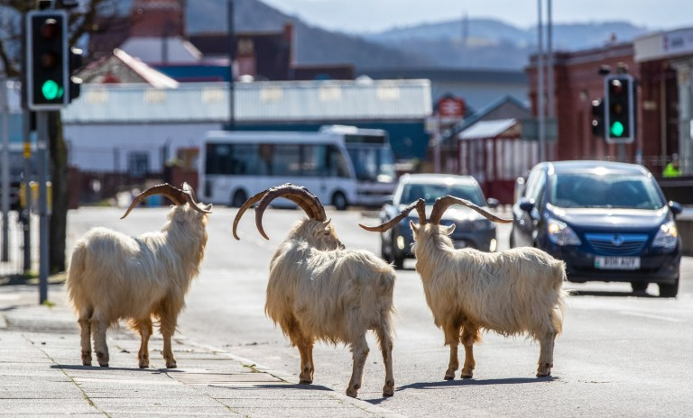 A herd of goats take advantage of quiet streets in Llandudno, north Wales. PA Photo. A gang of goats has been spotted strolling around the deserted streets of the seaside town during the nationwide lockdown. Picture date: Monday December 9, 2019. See PA story HEALTH Coronavirus Goats. Photo credit should read: Peter Byrne/PA Wire
