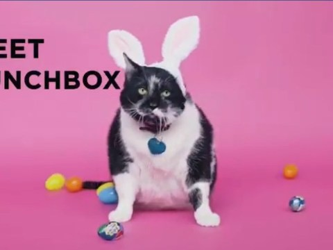 Everyone has fallen for Lunchbox – the 24lb cat who wants to be a Cadbury bunny