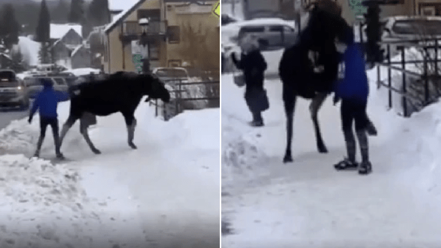 Grab of woman pestering moose next to grab of moose trying to stomp her