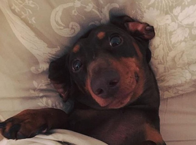 rolo the sausage dog in bed