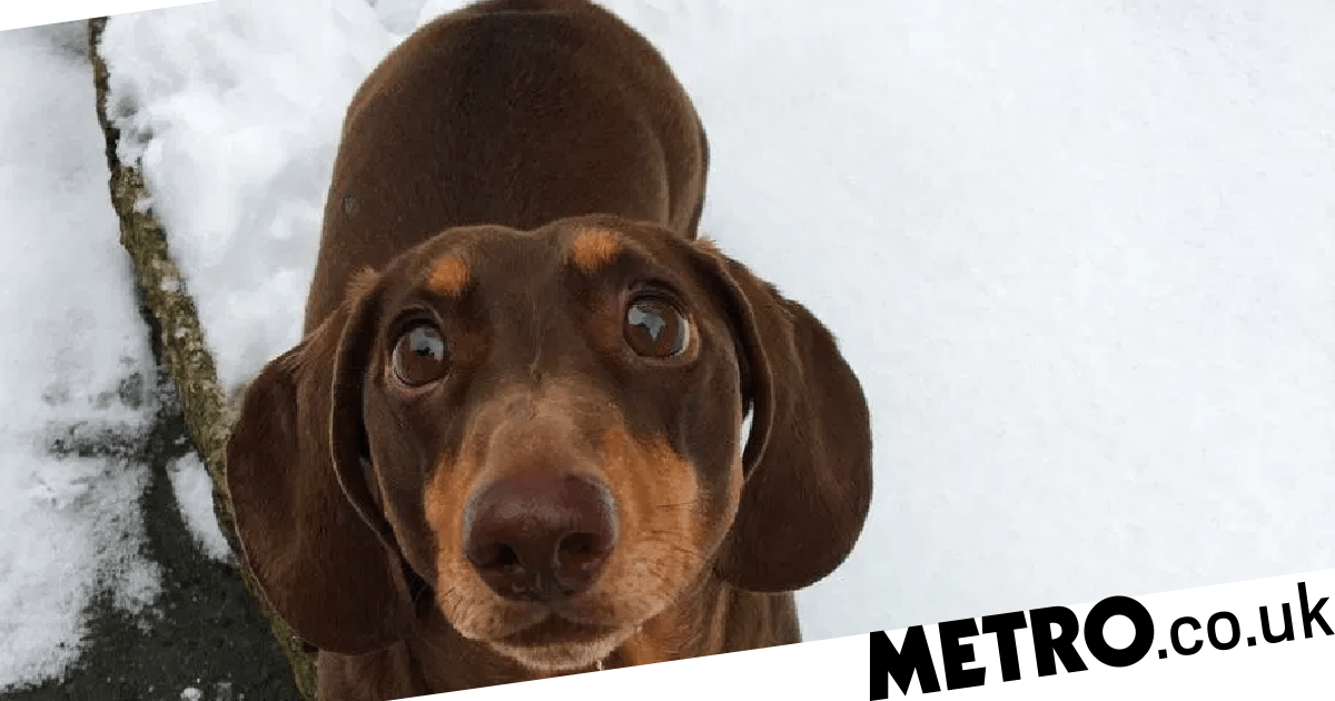 Dog overjoyed family is staying home wags tail so hard he sprains it