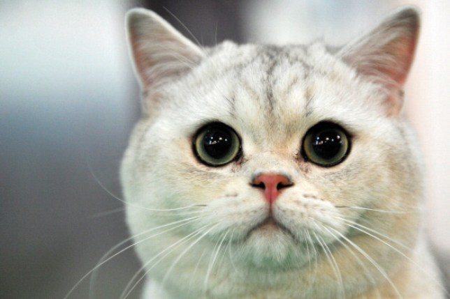 Cats are 'highly susceptible' to covid-19 (Picture: AFP)