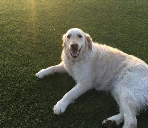 Tara the dog lying on grass