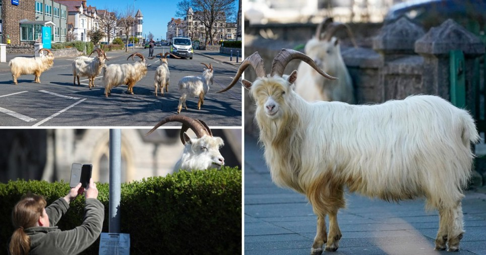 Do not approach the goats, police warn