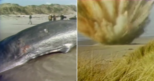 Screengrabs of footage showing whale being blown up on beach of Florence, Oregon, USA in November 1970