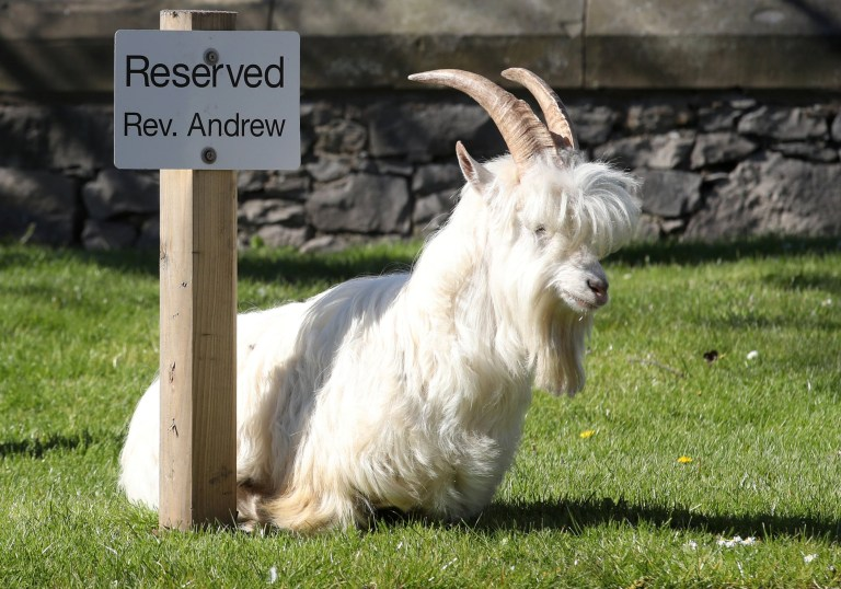 A goats sits next to a reserved sign in Llandudno as the spread of the coronavirus disease (COVID-19) continues, Llandudno, Wales, Britain, March 31, 2020. REUTERS/Carl Recine