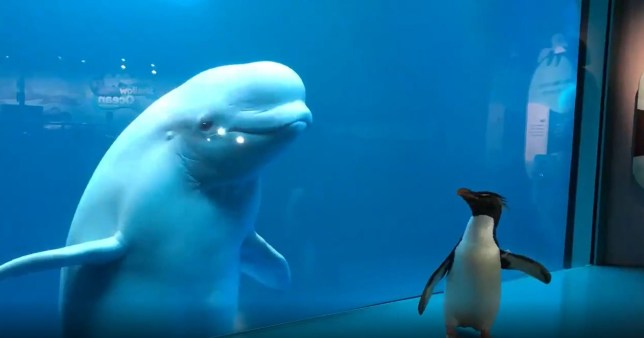 Free-roaming penguin has mind blown when it sees beluga whale for the first time