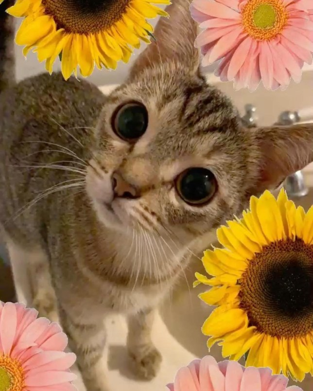 Cindy-Lou the Smol is a tiny cat with adorable alien eyes who'll always be kitten sized
