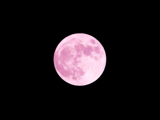 Big beautiful pink full moon floating in the clear night sky