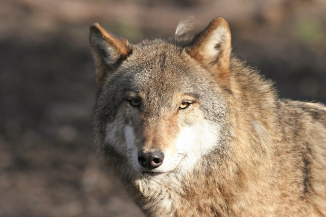 Grey Wolf Wolf (Canis Lupus) Originate From The Pyrenees, Picture Taken In An Animal Park Of The Yvelines, France.Canis Lupus , Wolf , Canid , Mammal (Photo by BSIP/Universal Images Group via Getty Images)