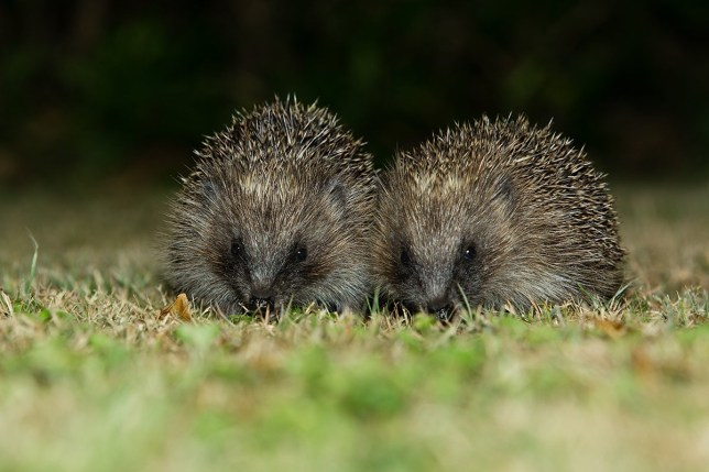 Juvenile Hedgehog on the garden lawn.