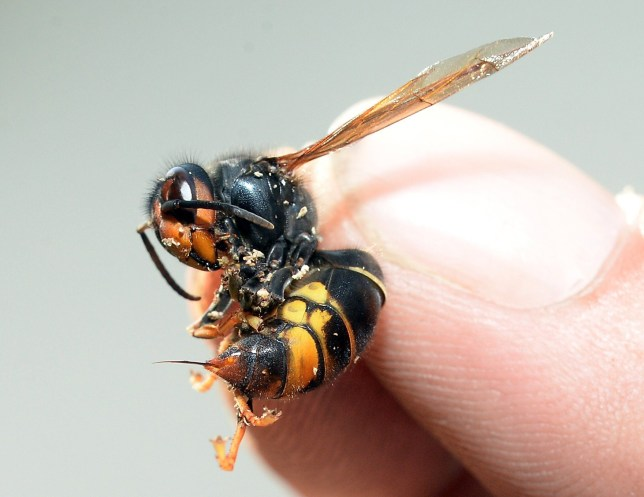 TO GO WITH AFP STORY BY PHILIPPE BERNES-LASSERRE - A picture taken on August 5, 2014 in Saint-Paul-les-Dax, southwestern France, shows a person holding an Asian predatory wasp, also known as Asian Hornet, with its sting out. AFP PHOTO JEAN-PIERRE MULLER (Photo credit should read JEAN-PIERRE MULLER/AFP/Getty Images)