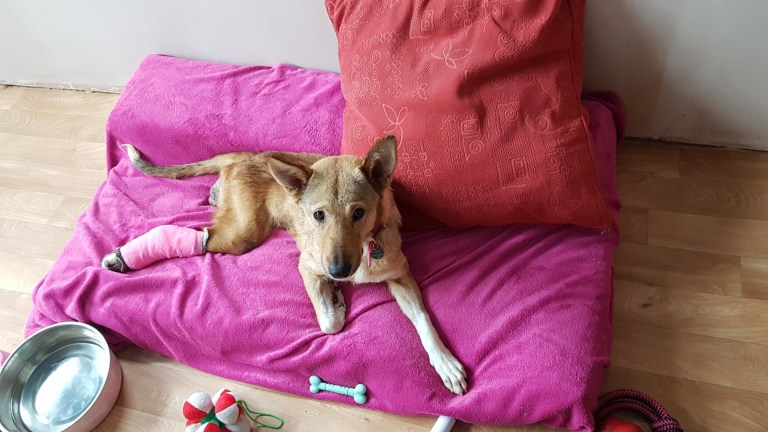 Disabled dog lying on a pink mattress with her back leg in a cast.