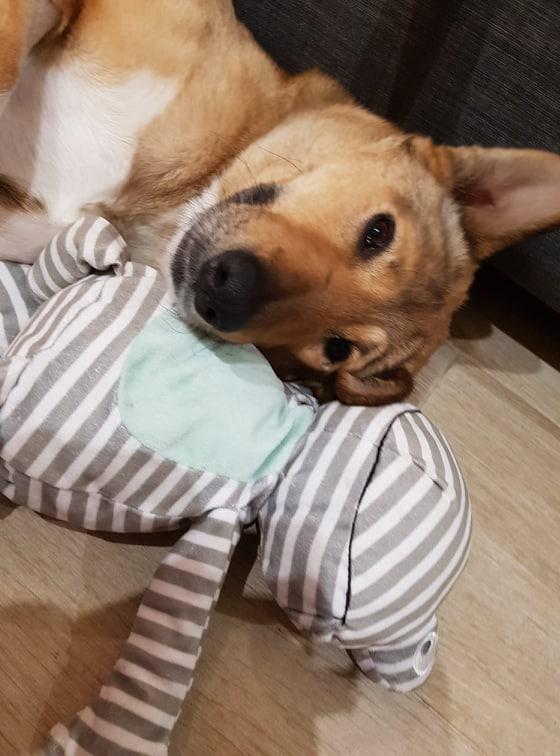 Disabled dog Ella snuggling her toy