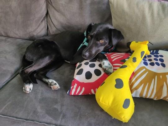 Socks the dog lying on a sofa