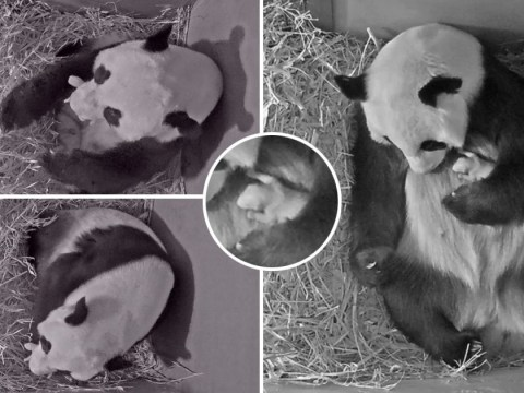First video of panda cub at zoo that waited three years for parents to mate
