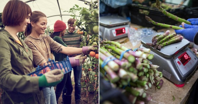 Fruit and vegetable pickers as Environment Secretary George Eustice calls on furloughed workers to 'pick for Britain'