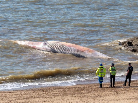Carcass of 40 foot whale washes up on Essex beach