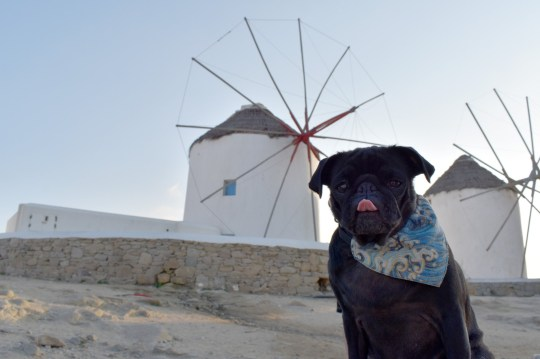 PIC BY @pebblesthetravellingpug / CATERS NEWS (PICTURED Pebbles is a very well travelled pug, but is currently grounded in San Jose - pictured here in Mykonos, Greece) A couple who travel the world with their dog have revealed theyre currently stranded in South America - after officials offered to repatriate them but told them to leave their pug, Pebbles, behind. Abbey Walsh, 25 and Hugh Thomas, 25, have racked up thousands of followers on social media as their pet pug travels the world alongside them - visiting more than 25 countries. But the jet setting family were thrown into jeopardy after flying to Costa Rica on March 12 for a three-week trip - only to find the world plunged into lockdown. The British Embassy offered to get the couple of a repatriation flight - but said they would have to abandon Pebbles. SEE CATERS COPY