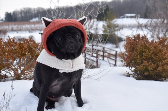PIC BY @pebblesthetravellingpug / CATERS NEWS (PICTURED Pebbles is a very well travelled pug, but is currently grounded in San Jose - pictured here in Canada) A couple who travel the world with their dog have revealed theyre currently stranded in South America - after officials offered to repatriate them but told them to leave their pug, Pebbles, behind. Abbey Walsh, 25 and Hugh Thomas, 25, have racked up thousands of followers on social media as their pet pug travels the world alongside them - visiting more than 25 countries. But the jet setting family were thrown into jeopardy after flying to Costa Rica on March 12 for a three-week trip - only to find the world plunged into lockdown. The British Embassy offered to get the couple of a repatriation flight - but said they would have to abandon Pebbles. SEE CATERS COPY