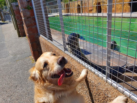Dudley, a golden retriever, meeting grey seal Willow