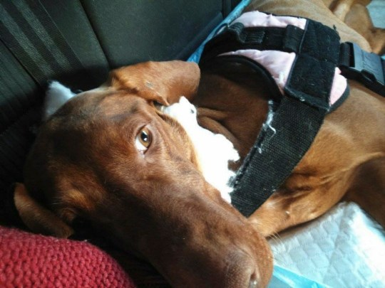 Deru the Hungarian Vizsla, when he was rescued and taken to skipton