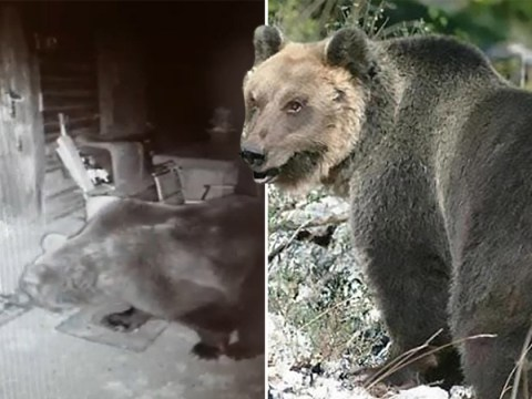 Honey stealing, cow-chasing bear's nine months on the run comes to an end