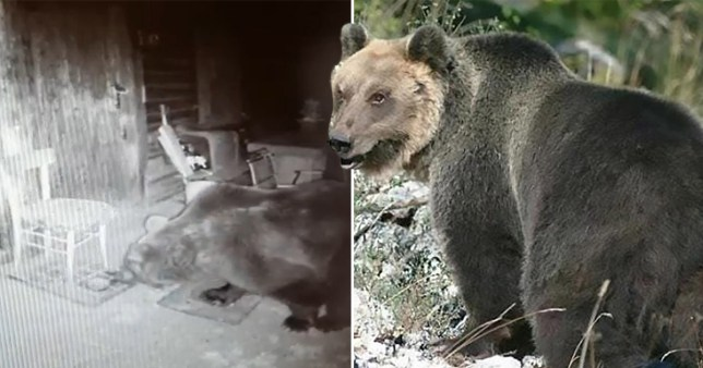 Bear on the run for months stealing honey finally recaptured