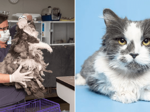 Stray cat with pounds of matted hair gets makeover from shelter who didn't know what animal it was