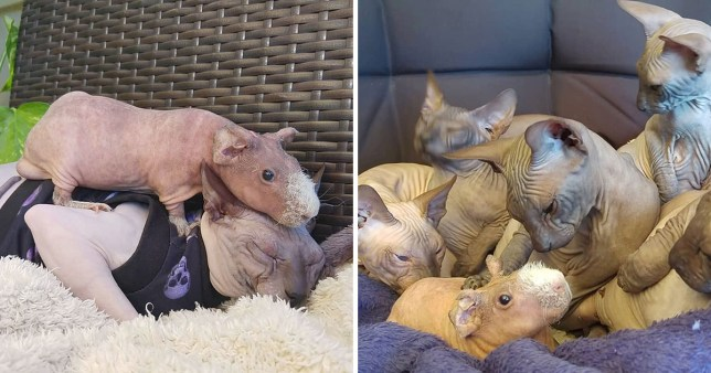 Luis the bald guinea pig with his sphynx cat friends