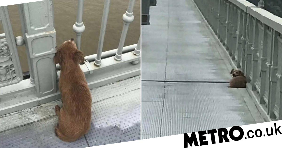 Grieving dog waits on bridge for owner after they jumped into river