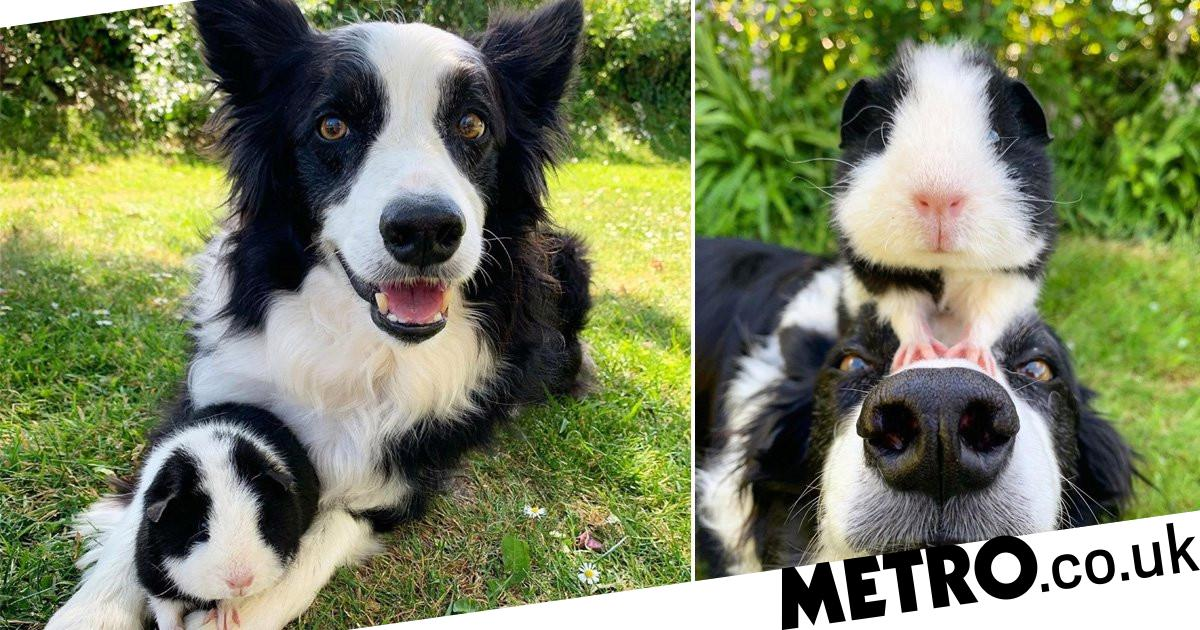 Guinea pig befriends dogs with exact same black and white markings